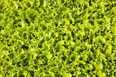 Lettuces cultivation — Stock Photo