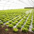 Stock Photo: Lettuces in hothouse