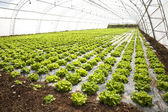 Lettuces in a hothouse — Stock Photo