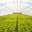 Industrial lettuces cultivation — Stock Photo #13282130