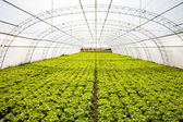 Industrial lettuces cultivation — Stock Photo