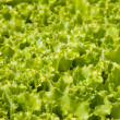 Green lettuce sheets — Stock Photo