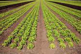 Fresh green lettuce — Stock Photo