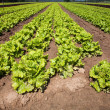 Stock Photo: Cultivated lettuces