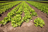 Cultivated lettuces — Stock Photo