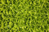 Sprouts of lettuces — Stock Photo