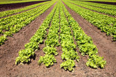 Lettuces Roman — Stock Photo