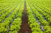 Lettuces breeding — Stock Photo