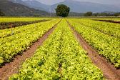 Lettuces breeding ground — Stock Photo