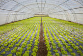 Cultivation of lettuce — Stock Photo