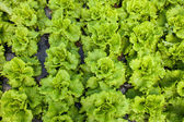 Roman lettuce — Stock Photo