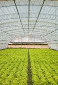 Salát ve skleníku — Stock fotografie