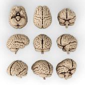 人間の脳 — ストック写真