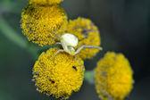 Crab spider(Thomisoidea) — Stok fotoğraf