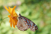 Blue Glassy Tiger(Ideopsis vulgaris macrina) — Stock Photo