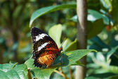 Leopard Lacewing (Cethosia cyane) — Stock Photo