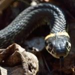 Grass snake — Stock Photo #25947743