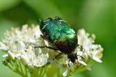 Chafer beetle(Cetonia aurata) — Stock Photo
