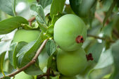 Persimmon fruit on a branch — Stock Photo