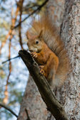 Squirrel eats a nut — Stock Photo