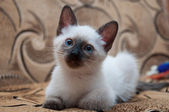 Pretty kitten with blue eyes — Stock Photo