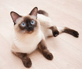 Birman cat — Stock Photo