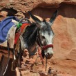 Jordanien Donkey at Petra — Stock Photo