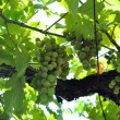 Vitis vinifera (Common Grape Vine) - Stock Photo