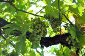 Vitis vinifera (Common Grape Vine) — Stock Photo