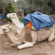 Two camels in Marrakech — Stock Photo