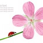 flora primavera e coccinella su sfondo bianco — Foto Stock