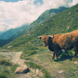 Stock Photo: Europealpine landscape with highland cow