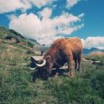 Highland cow in alpine landscape — Stock Photo