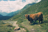 European alpine landscape with highland cow — Stock Photo