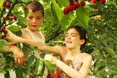Girl and boy break up cherries — Stock Photo