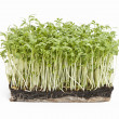 Fresh garden cress (LEPIDIUM SATIVUM) — Stock Photo