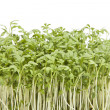 Stock Photo: Fresh garden cress (LEPIDIUM SATIVUM)