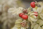 Frutos de cachorro rosa — Fotografia Stock