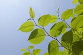 Fresh spring leaves background — Stock Photo