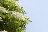 цветки бузины в полном цвету (sambucus негр) — Стоковое фото