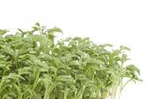 Fresh garden cress with dew drops (LEPIDIUM SATIVUM) — Stock Photo