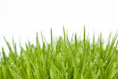 Fresh grass with dew drops. — Stock Photo