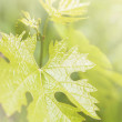 Grape leaves — Lizenzfreies Foto