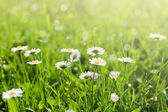 Flores bella daisy soleado — Foto de Stock