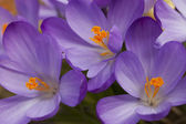 Spring purple crocus flowers — Stock Photo