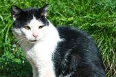 Black and white cat — Stock Photo