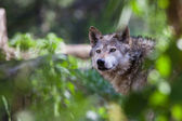 Mexican Wolf — Stock Photo