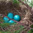 Robin's Nest — Stock Photo