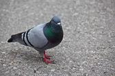 Common Pigeon — Stock Photo