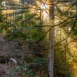 Stock Photo: Forest sunlights